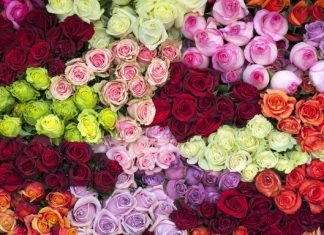 the colors of roses